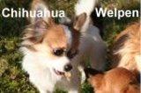 Chihuahuas, kleine feine Hobbyzucht